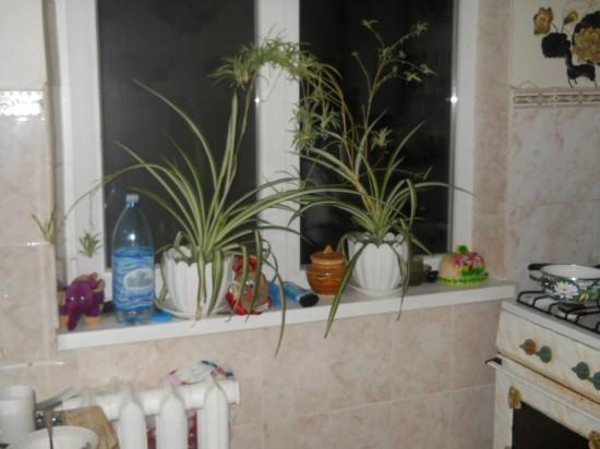 Цветок для кухни поглощающий запахи