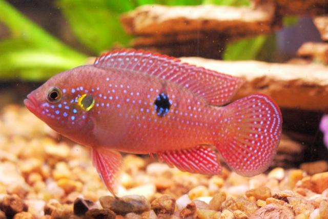 ...цихлид.  В природе самцы этих рыбок достигают длины 15 см, самочки