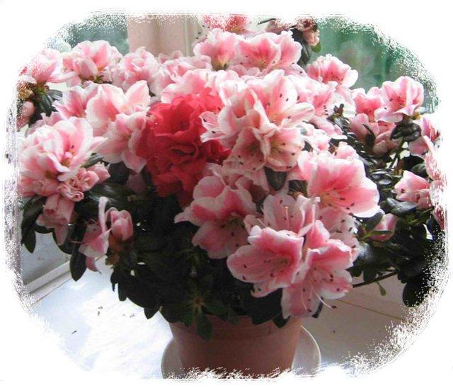 Этот цветок всегда стоит у народных целителей, недаром его...  Капризная дама азалия - сильнейший донор...