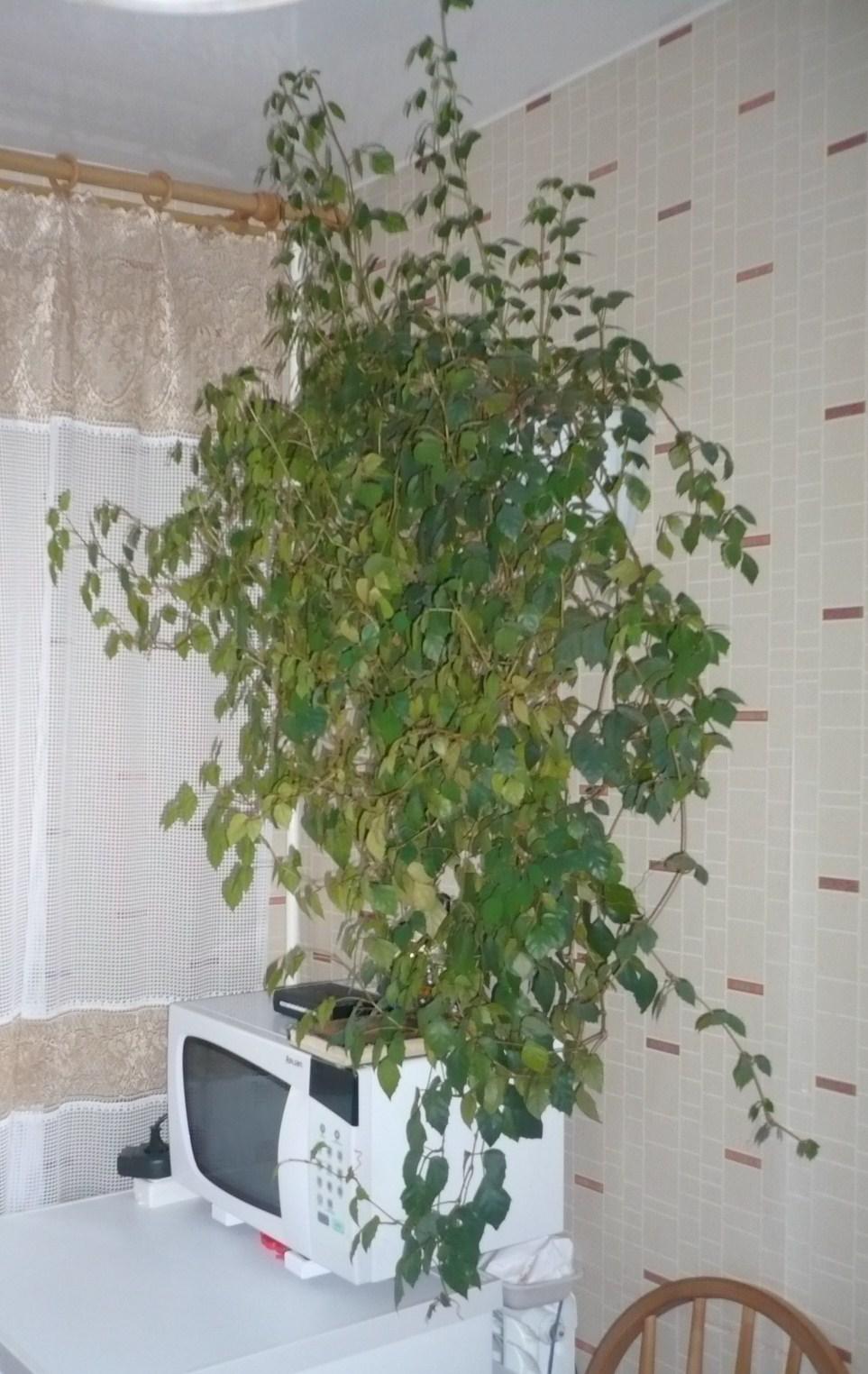 Березка (комнатное растение посадка, уход, размножение) 42