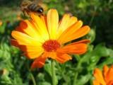 Цветник из лекарственных трав