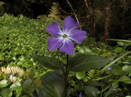 Барвинок многолетнее растение